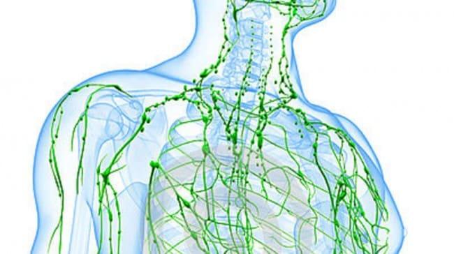 На страже здоровья. Зачем нам нужна лимфатическая система?
